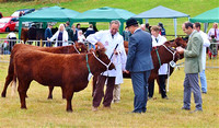 Cattle Classes at Dunster Show 2016